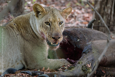 Young Female Lion feeding at buffalo kill