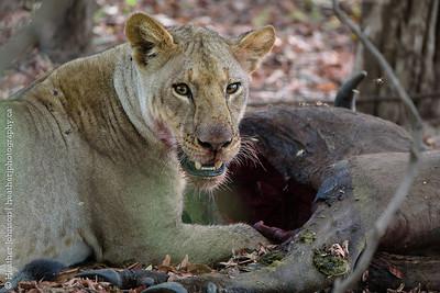 Young Female Lion feeding at buffalo kill