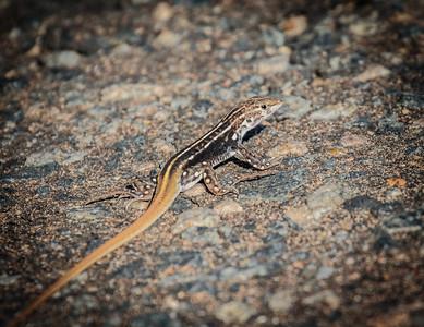 Flittered Lizard