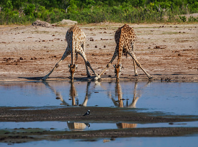 Hwange National Park, Zimbabwe Two giraffes stoop to drink at a watering hole in Hwange National Park