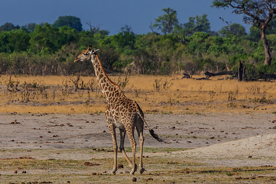 Hwange National Park, Zimbabwe A giraffe in Hwange National Park.