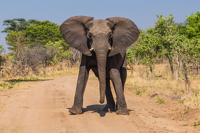 Hwange National Park, Zimbabwe Threatened by our truck, the adult elephant becomes upset and starts to trumpet and looks like it might try to charge us.