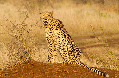 Cheetah perched on an anthill