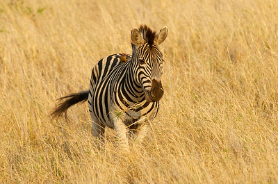 Zebra with Red-billed Oxpecker