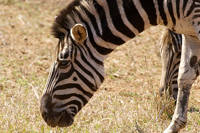Zebra with beauty mark