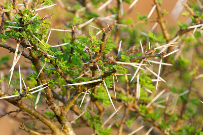 Thorny Acacia...everything growing seems to have thorns