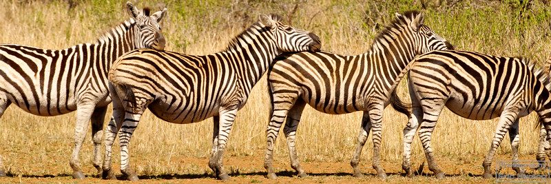 Kick line of zebras in South Africa