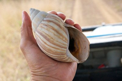 Giant Land Snail shell