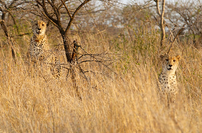 The cheetah brothers
