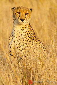 Cheetah's watchful gaze in South Africa