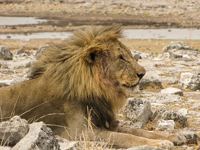Lions at Homob Waterhole, our final stop on our way out of Etosha National Park.