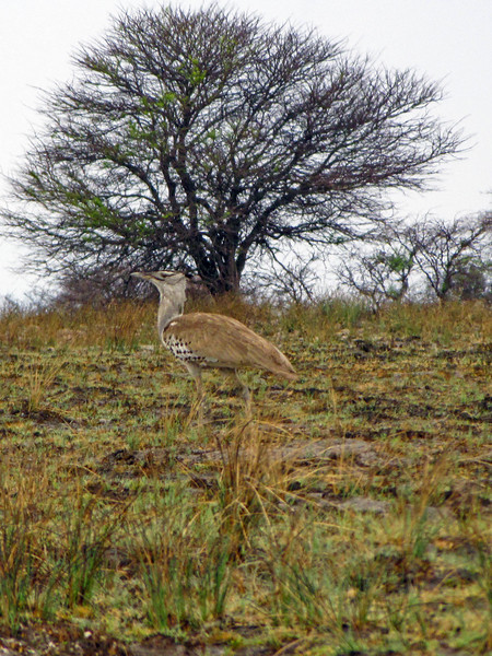 Kori Bustard, Etosha National Park