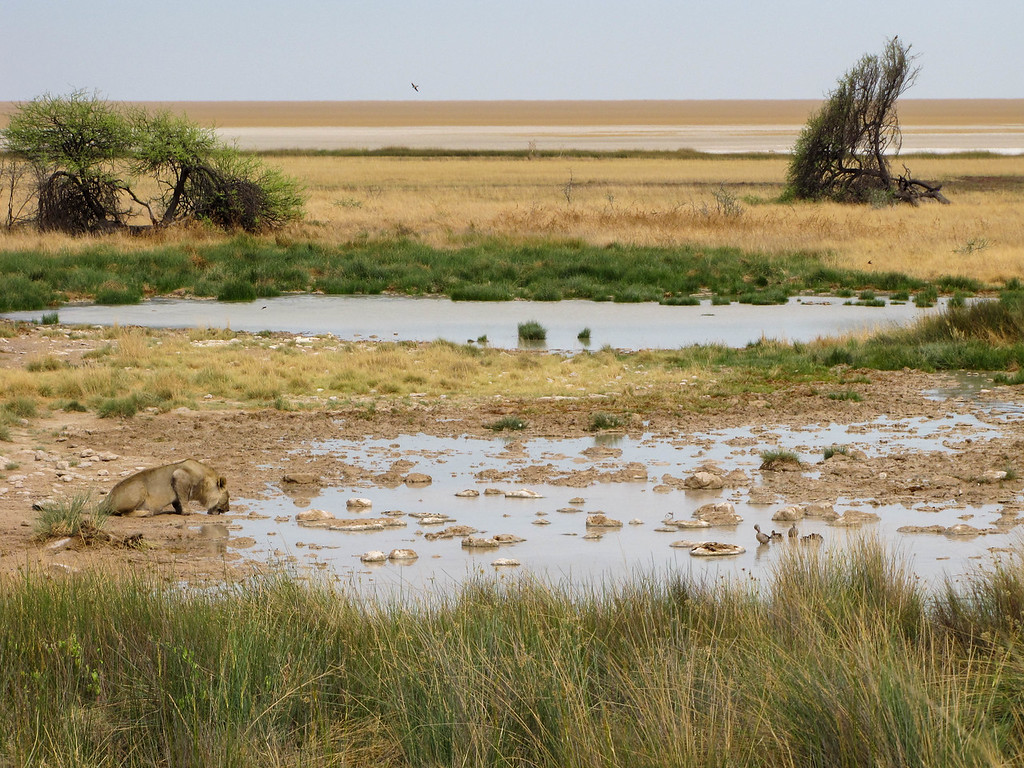 Lion, Salvadora Waterhole, Etosha National Park