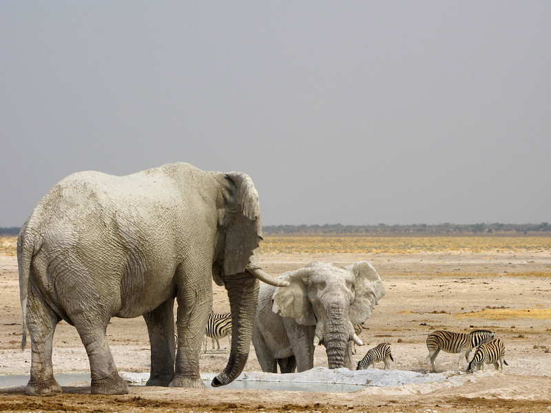 Nebrowni, Etosha National Park