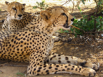 Cheetah encounter at N/a'an ku sê Wildlife Sanctuary.