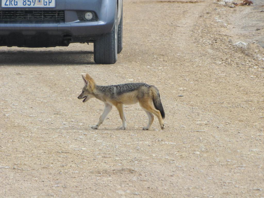 Jackal Puppies, Etosha National Park