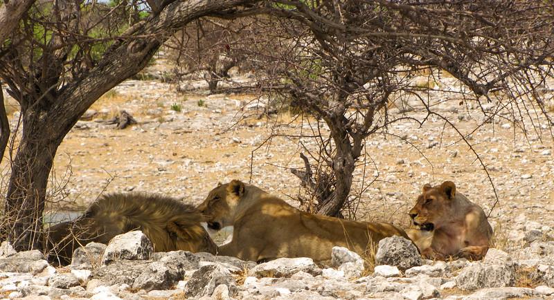 Lions, Homob Waterhole, Etosha National Park