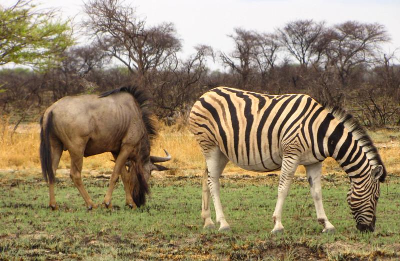 Zebra & Wildebeest, Etosha National Park