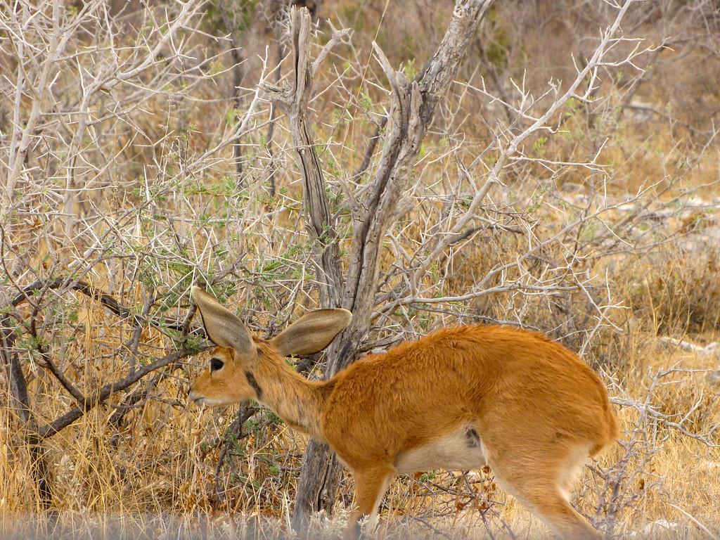 Steenbok, Etosha National Park