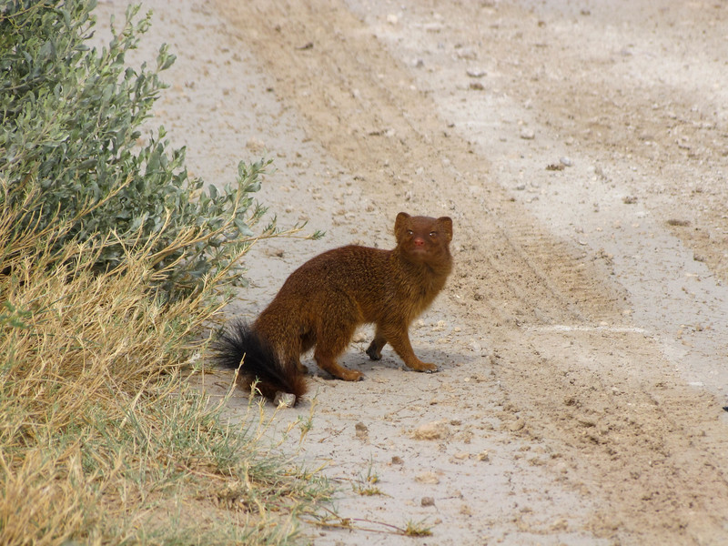 Mongoose, Etosha National Park