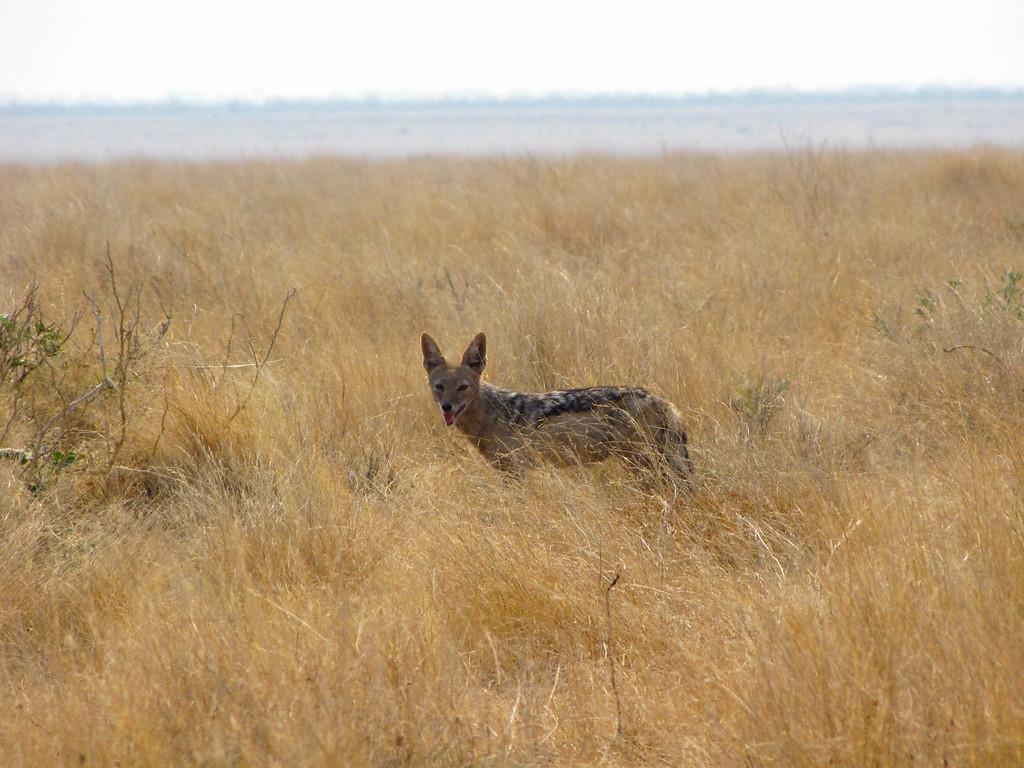 Jackal, Etosha National Park