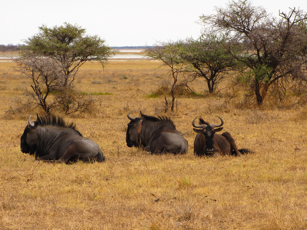 Blue Wildebeest, Etosha National Park