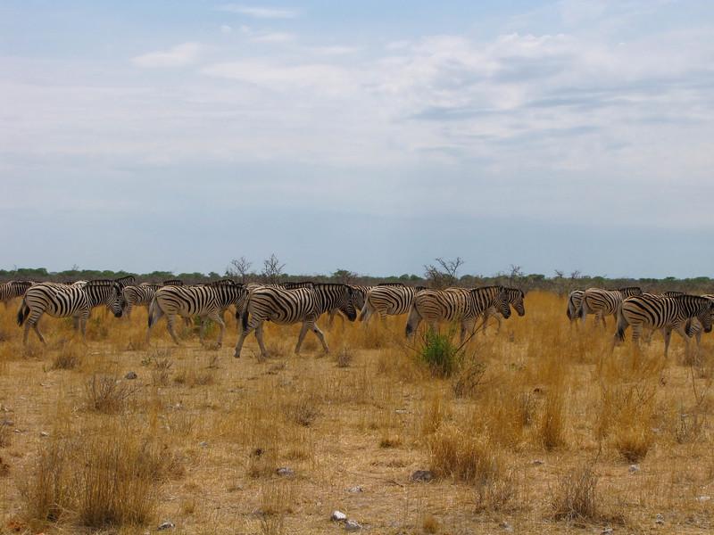 Zebra, Etosha National Park