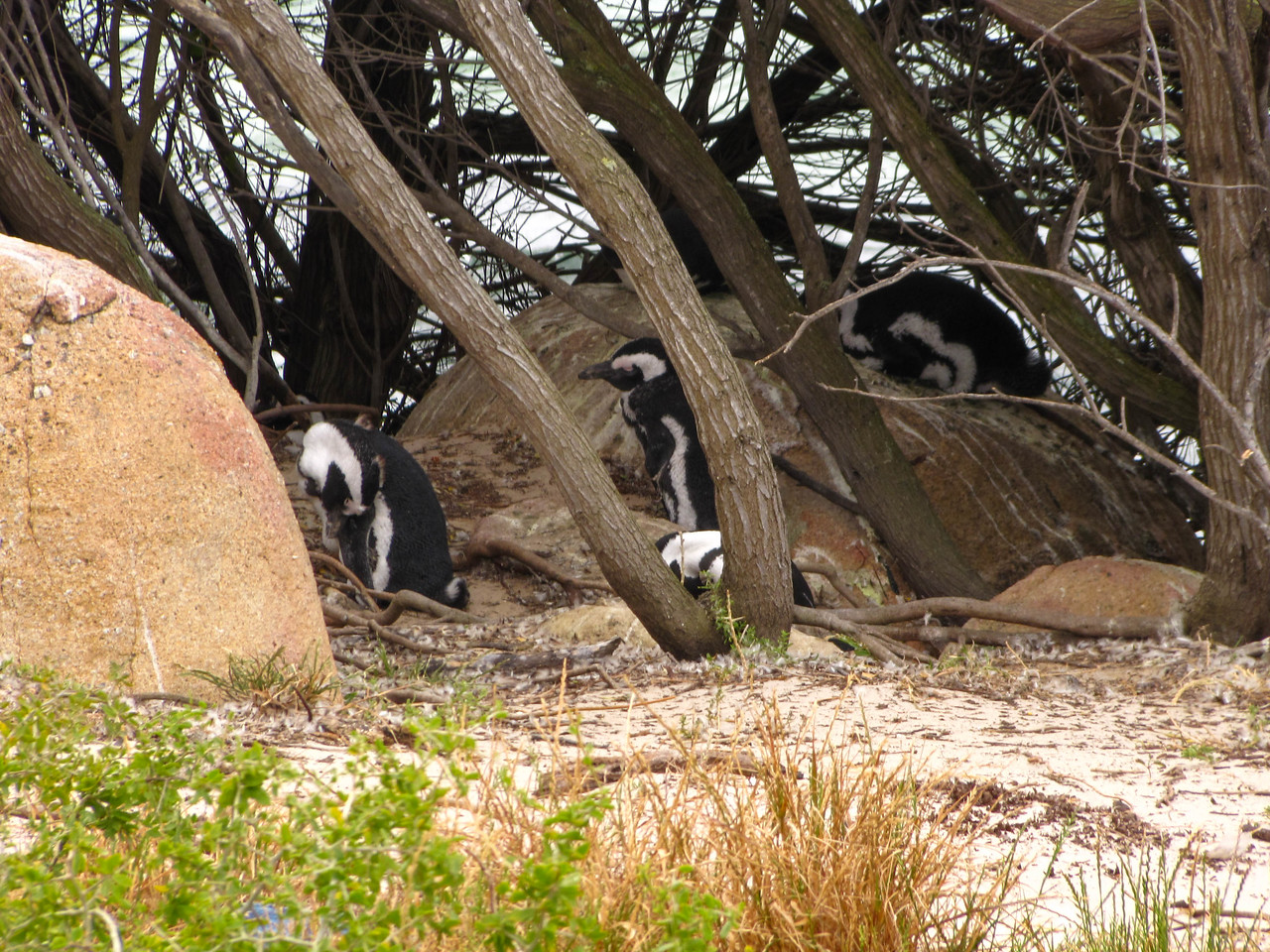 African Penguins, Simon's Town