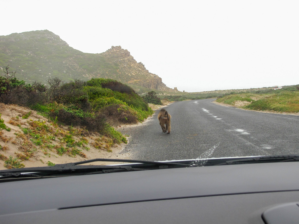 Baboons at Cape Point