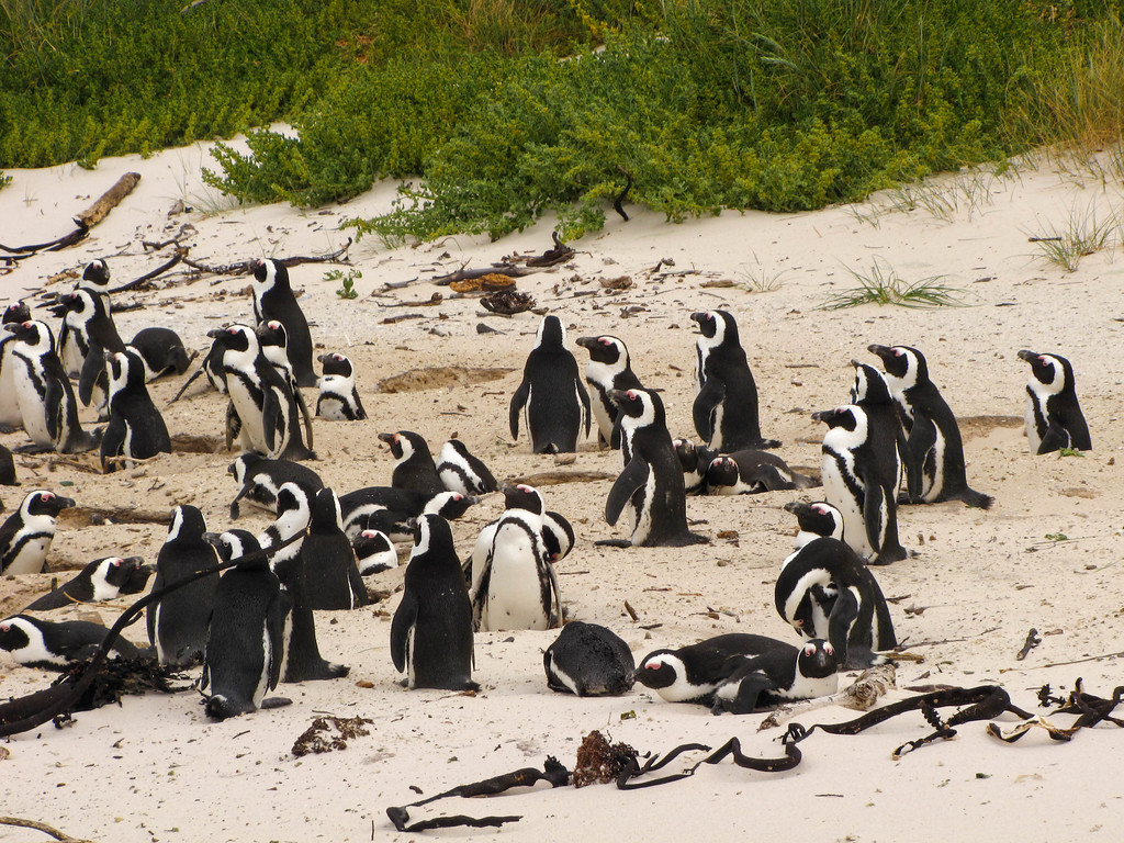 African Penguins, Simon's Town