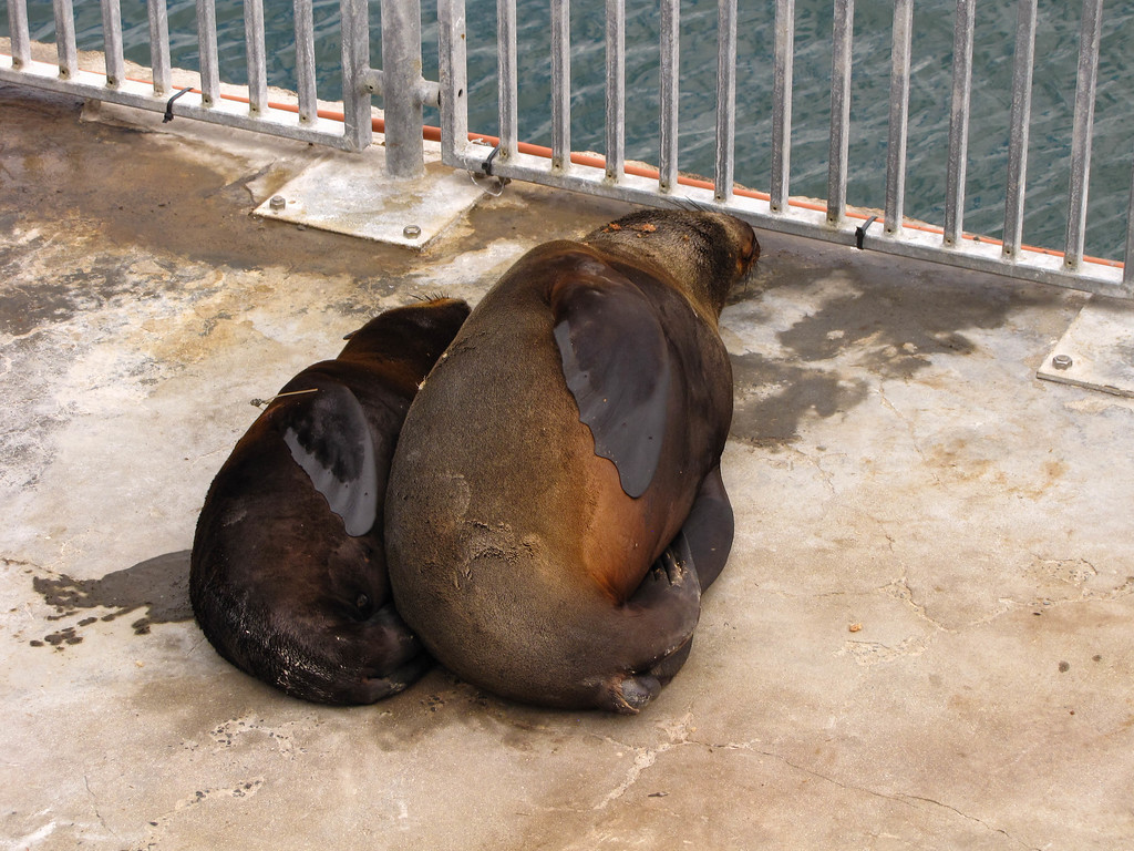 Cape Fur Seal, V&A Waterfront