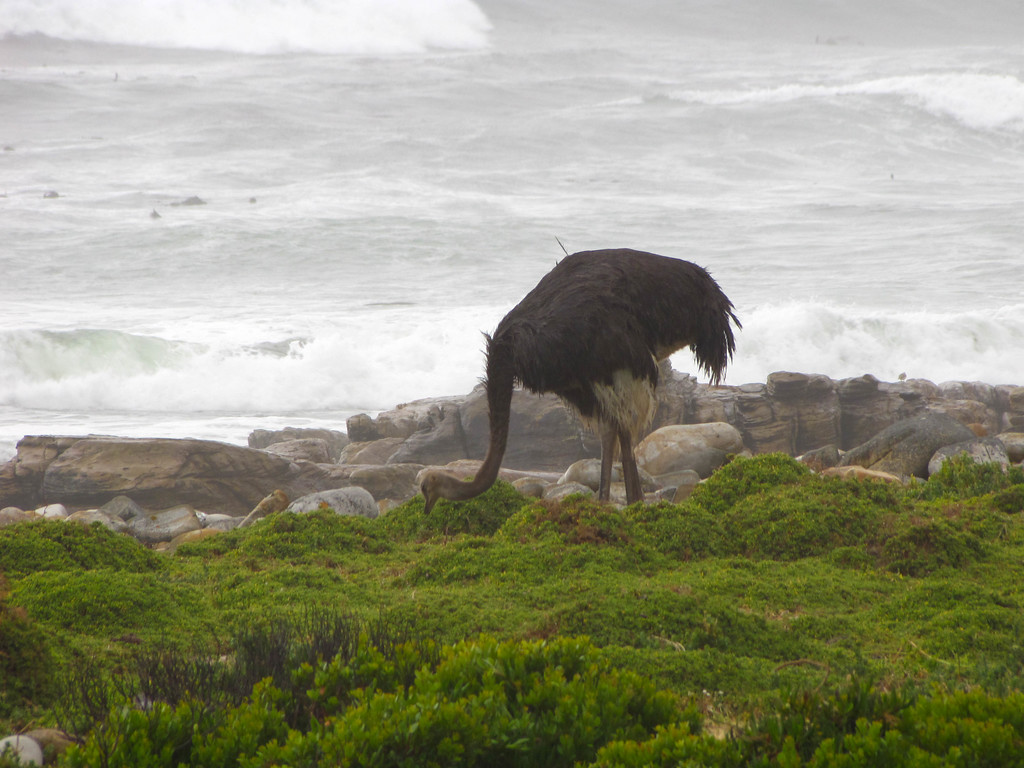 Ostrich, Cape Point