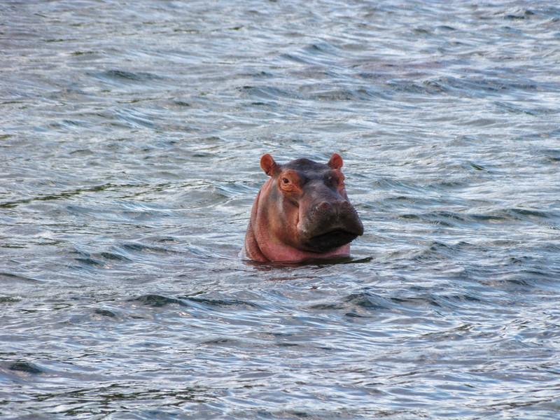 Hippopotamus in Zambezi