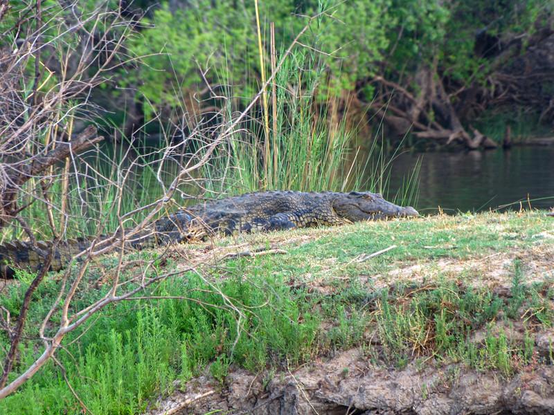 Crocodile on Zambezi River Bank