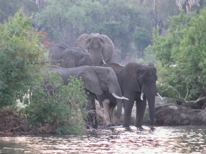 Elephants in Zambezi River