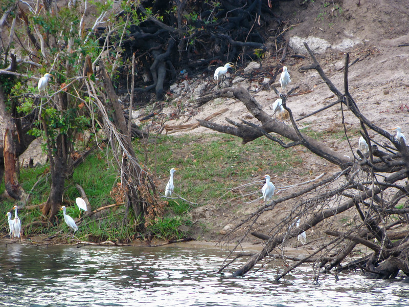 Egrets on Zambezi River Bank