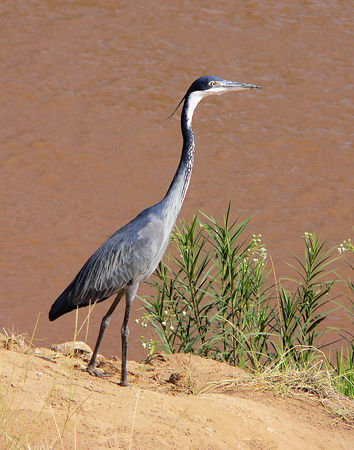Goliath Heron, World's largest Heron.  Serengeti