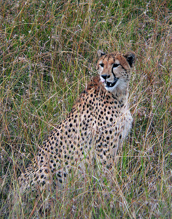 We had just watched this Cheetah take down a Reedbuck.  Every now and then she would stop eating and look around for other predators who would steal her prize.