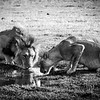 Lions Drink