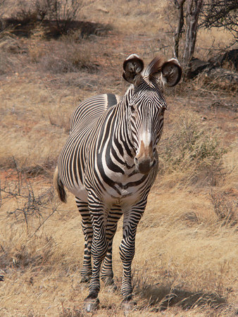 Grevy's Zebra in Samburu