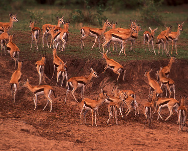 Thompson's gazelles deciding if they should cross river where Nile crocodiles are waiting