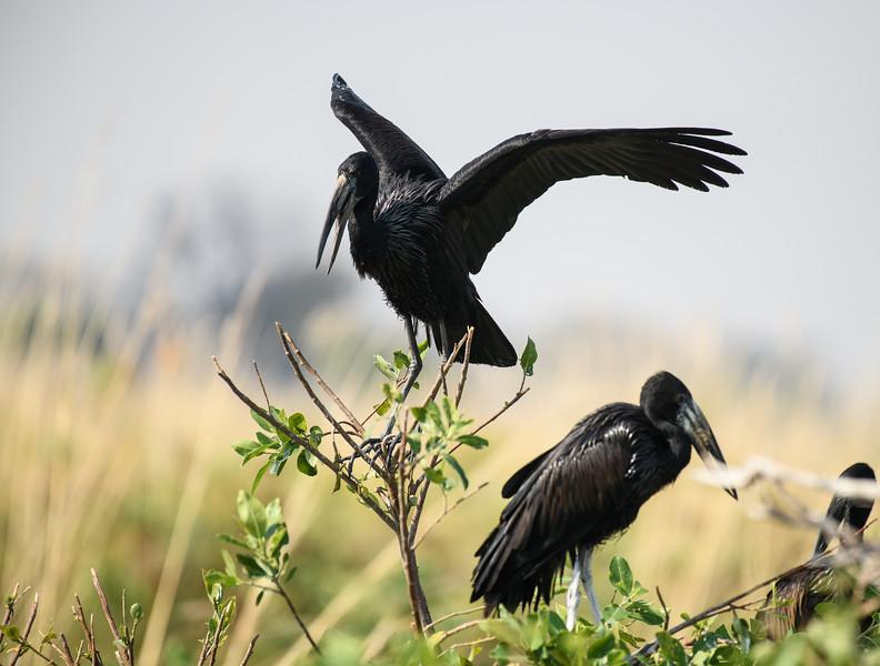 African Openbills