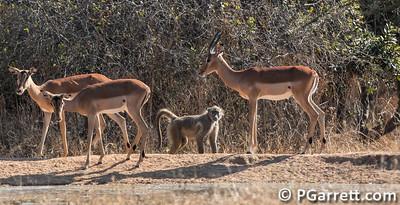 Impala and Baboon