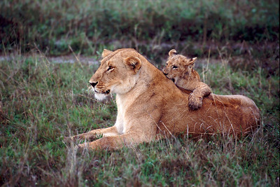 Lion cub nips mother's back.  This photo hangs in my living room.