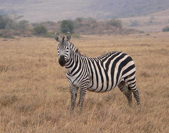 Burchell's Zebra the Masai Mara
