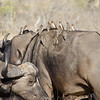 Cape Buffalo with Red-billed Oxpeckers
