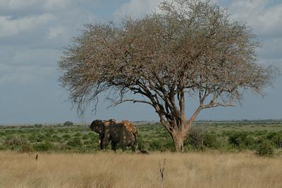 """""""Male Elephant, Tsavo East"""""""