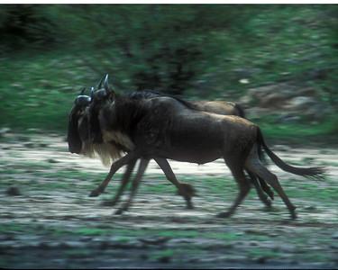 Wildebeeste migration in Kenya, Serengeti, Africa
