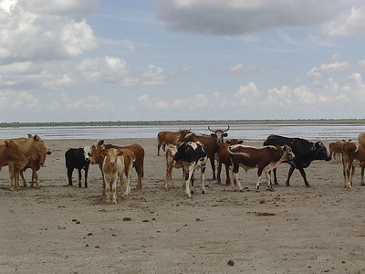 African Cattle on the salt pans.