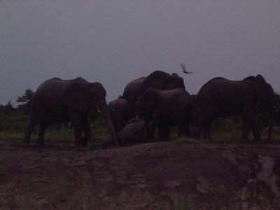 Elephants rolling in the muddy river banks.